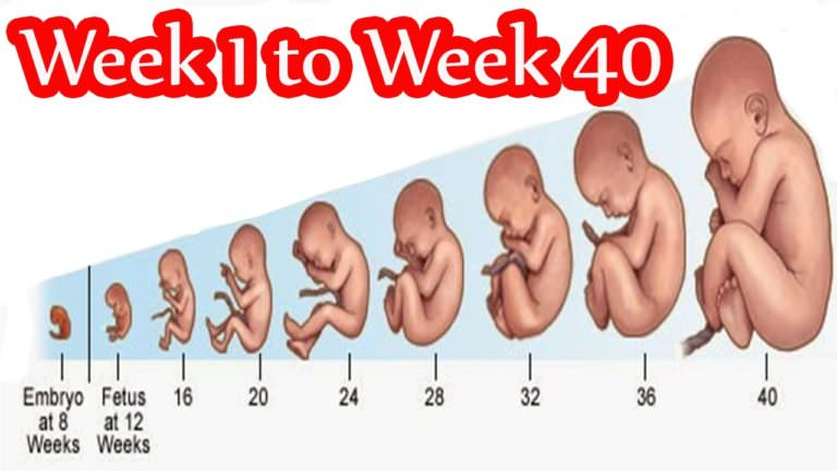 Week 1 to 40 in Mother's Womb